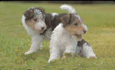 Pups At Play Fox Terriers, Wire Fox Terrier, Puppies, Babies, Play, Dogs, Pictures, Animals, Photos
