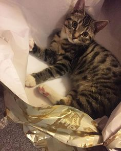Reposting @babycattheo: Happy Christmas to my lovely furrfriends and their furrmilys  this year my daddy and meowmy are getting for Christmas .. ME!!!! I am the gift that keeps on giving ♀️ lots of love and cheer  #cat #cats #catsagram #instagood #kitten #kitty #kittens #pet #animal #petsagram #photooftheday #catsofinstagram #ilovemycat #instagramcats #nature #catoftheday #lovecats #furry #sleeping #lovekittens #adorable #chat #gatto #gato #mao #猫 #neko
