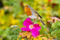 Denley Chester - robin picture for mac computers - 2048x1365 px