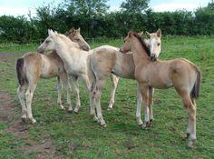 Quarter horse foals