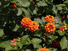 Lantana (Shrub Verbena) Love these plants!!