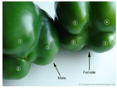 Male vs Female peppers...3 bumps are males with less seeds, which are better for baking. 4 bumps are females with more seeds but taste sweeter for eating raw. Who would have thought?