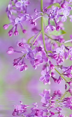 Carried Away with Lilacs | Flickr - Photo Sharing!     Aline ♥