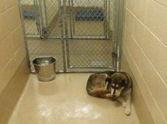 Owner died and surviving family surrendered beautiful husky to animal control