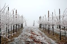 The Woodward Canyon Estate Vineyard on a frosty day.