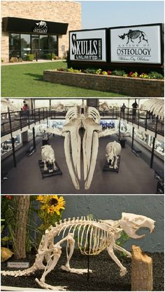O is for the Osteology Museum! The Museum of Osteology in Oklahoma has hundreds of skeletons of different animal species on display. The educational exhibits cover adaptation, classification and much more.