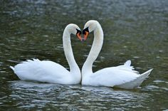 Beautiful swans in Stratford Ontario. Me and my husband.