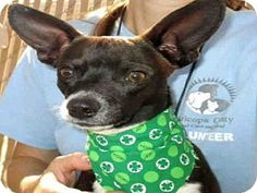 URGENT Scottsdale, AZ - Chihuahua. Meet OREO, a dog for adoption. Maricopa County Animal Care & Control http://www.adoptapet.com/pet/12606123-scottsdale-arizona-chihuahua