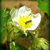 strawberry bloom visitor