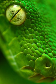 Green Python head closeup, Papua New Guinea photo by panvorax
