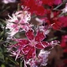 Dianthus Superb Pink Spooky Mix 200 seeds Garden Seeds 2u * To view further for this item, visit the image link.