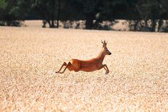A roe deer running through corn fields in Oxfordshire. Picture: Will Ralf of Kidlington, Oxford
