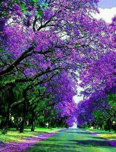 Jacracanda Street. Sydney, Australia