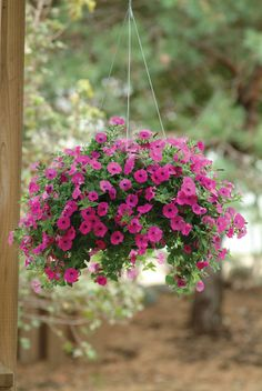 Shockwave Purple in a Hanging Planter. wave-rave.com
