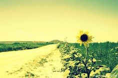 My husband shot this very proud sunflower near his hometown in Western Kansas!  I loved editing this beauty!!