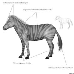 How to draw a zebra step 3: stripes can be painted in using a solid brush. Make sure to align it to the curvature of the muscles. Do various sizes of stripes to match its proportions.