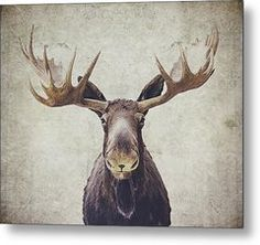 Moose Metal Print by