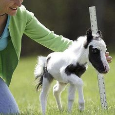 Einstein - The World's Smallest Horse.