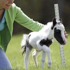 Einstein - The World's Smallest Horse.