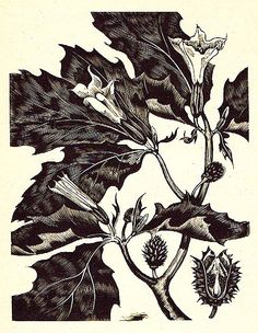 John Nash (British, 1893-1977). Thorn Apple. 1927. (wood engraving)