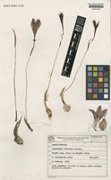 Habranthus bahiensis