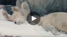 Le zoo de San Diego aux États-Unis a dévoilé une splendide vidéo de ses ours polaires : on peut voir les animaux...