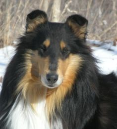 gorgeous tri-colored rough collie