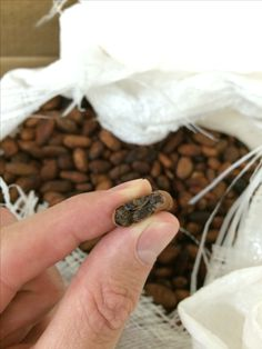Our latest batch of raw cacao from Fiji has a wonderful nutty, floral  almost honey like flavor.  Tasty and healthy. https://www.santabarbarachocolate.com/100-pure-cacao-raw-chocolate-cocoa-beans/