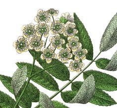 Botanical Mountain Ash Image!