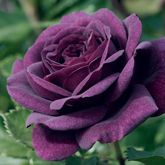 Buy the EBB TIDE - (Wekmopur) for your garden or as a gift; available with free UK delivery