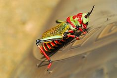 Colourful African locust by jeremyhughes, via Flickr