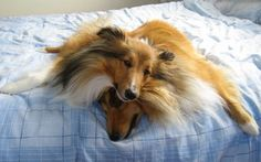 Why everyone needs two shelties! <3
