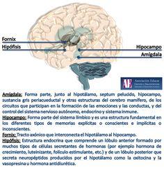 Ilustracion Neurociencias: Amígdala, hipocampo, fornix e hipófisis - Asociación Educar Ciencias y Neurociencias aplicadas al Desarrollo Humano  www.asociacioneducar.com