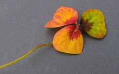 Ein Glücksbringer, weil dreiblättrig in einer eigentlich vierblättrigen Sauerkleepflanze? Sicher ist, das Dreiblatt kündigt den Herbst an!  #Herbst #Klee #Glücksklee