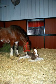 It was a bumper crop for the Budweiser baby barn, this year. The world famous Budweiser Clydesdales delivered 18 fillies and 10 colts in the breeding season that ended last May at the Warm Spring R… Big Horses, Horse Love, Show Horses, Black Horses, All The Pretty Horses, Beautiful Horses, Animals Beautiful, Beautiful Creatures, Clydesdale Horses Budweiser