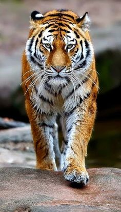 //So very beautiful, love the markings on these cats EL//