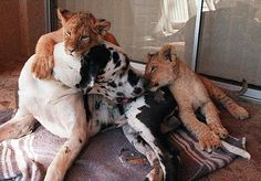 great dane and lion cub love