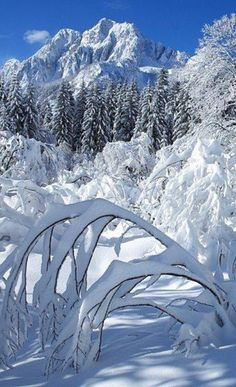 Trees bent over in a recent snow storm.  #amazingwinter