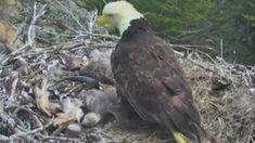FOX NEWS: California earthquake rattles eagle nest