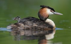 An adult great crested grebe gives one its young a ride while paddling across a lake in Holland.
