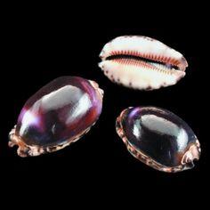 Deltona Seashells & Gifts - CYPRAEA ARABICA (PURPLE) SHELL (EA)