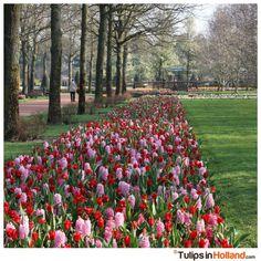 Happy weekend - Flowerbeds Keukenhof tulips in holland tulipsinholland.com