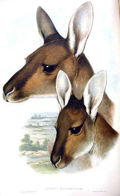 Animal - Animal head - Kangaroo - Mammals of Australia