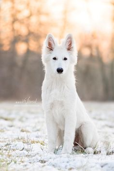 Dog photographer Leipzig - page 3 - Impressive dog photography from Leipzig by Mareike Konrad Photography - Bhumi – months - Cute Puppy Breeds, Cute Dogs And Puppies, Pet Dogs, Doggies, Pets, Herding Dogs, Purebred Dogs, Beautiful Dogs, Animals Beautiful