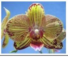 Dtps. k V beaury, phalaenopsis orchids, klairvoyant orchids, thrissur, kerala, india