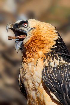"Quebrantahuesos (the literal translation is ""Bonebreaker"", although in English it is known as Bearded Vulture or Lämmergeier) (Gypaetus barbatus)"