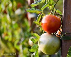 Our 2016 harvest is abundant #Tomatoes