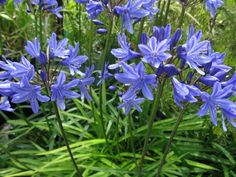 1 Agapanthus africanus Blue Lily flowers Low maintenance Hardy Perennial Plant