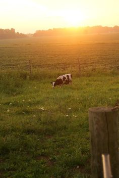 Cow & Morning Sunrise