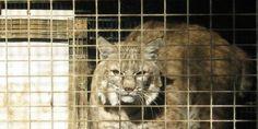 Killed for her Fur - Stop New Bobcat Fur Farm in Montana!